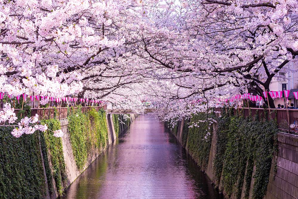中目黒の象徴とも言える目黒川の桜