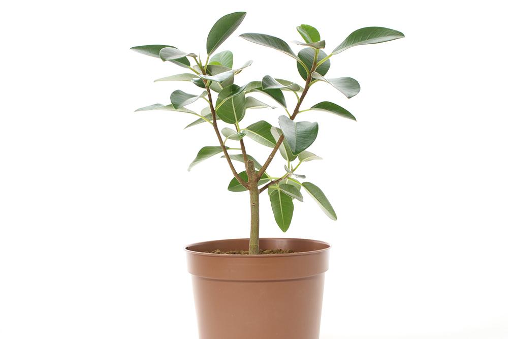 観葉植物のゴムの木