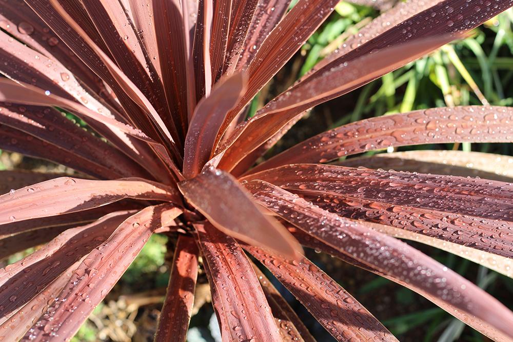 ベランダで育てやすいカラーリーフの観葉植物コルジリネ
