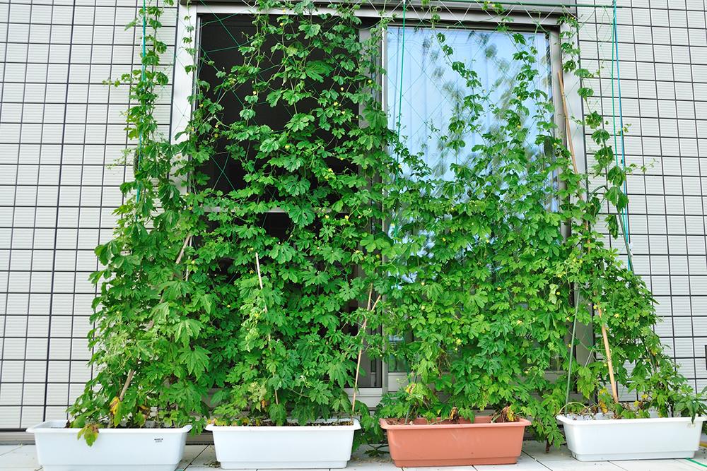 グリーンカーテンで室内への視線を遮る