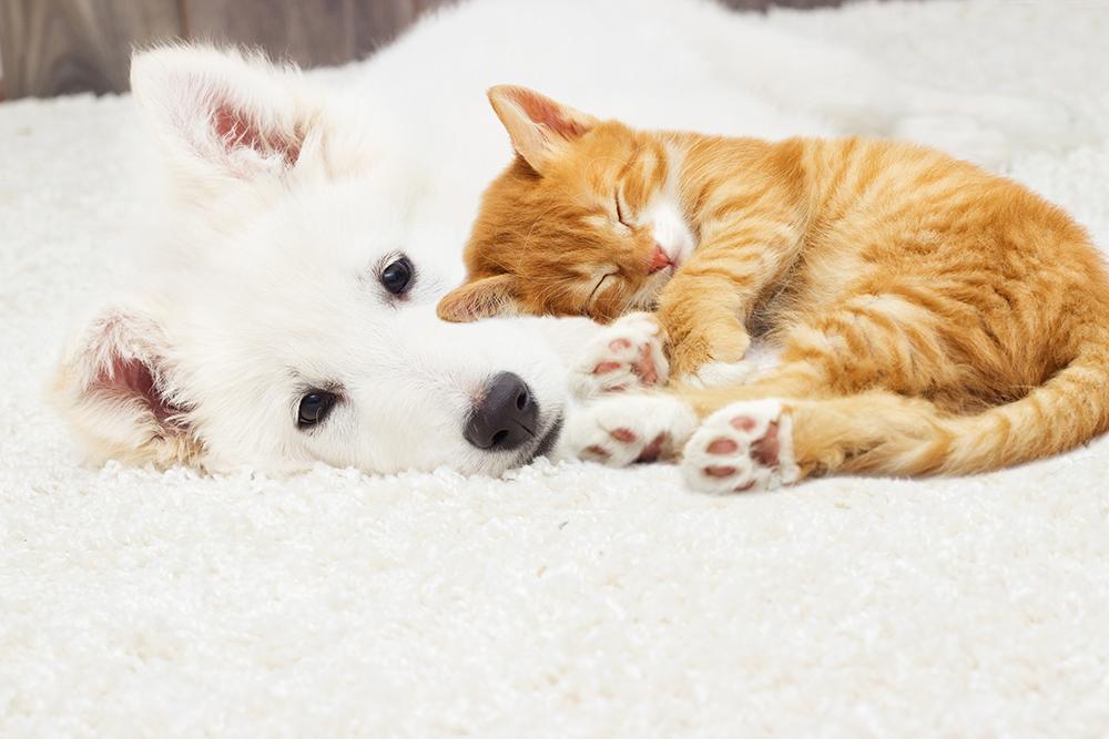 カーペットの上で眠る犬と猫