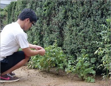 味がほしくなったときには庭に出て、しその葉を収穫してくる。