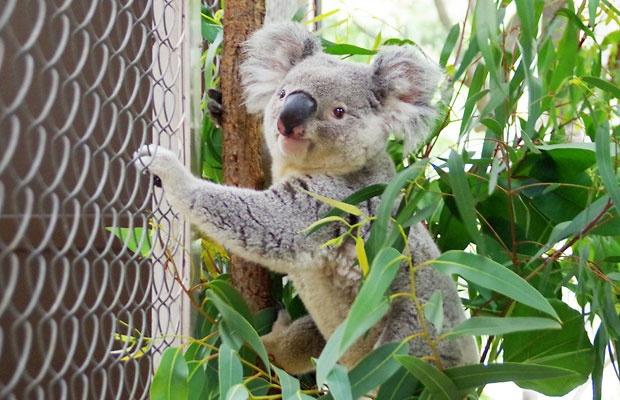 動物園のコアラの部屋がエコで快適にリフォーム!その住み心地は?