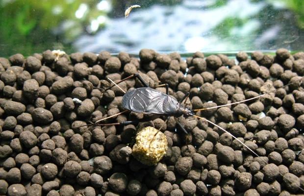 カブトムシ、クワガタの次はこれ! 鈴虫の鳴き声を自宅で楽しもう(画像提供:フィッシュジャパン)