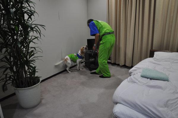 【画像2】「SEEK(探せ)」の指示にしたがって、室内を探知していく。見つけると首を上下に振り、ハンドラーに伝える(撮影:嘉屋恭子)