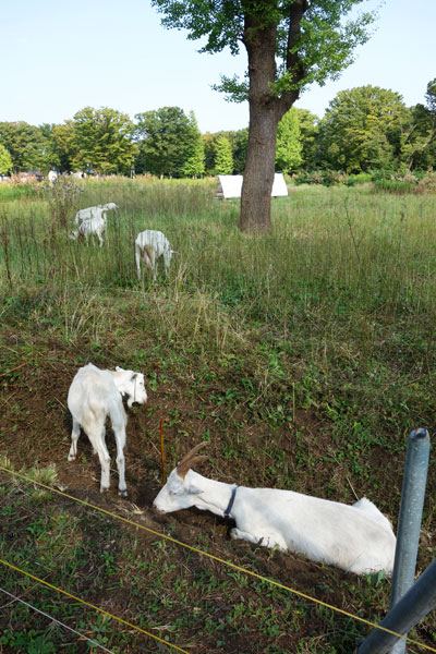 【画像5】歩道の近くまでヤギが来ているときは、観察のチャンス(写真撮影:金井直子)