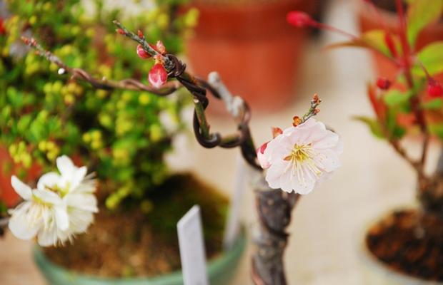 部屋にいてもお花見できちゃう「桜盆栽」育ててみる?(写真: iStock / thinkstock)