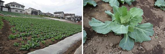 【画像8】ららぽーと富士見の周辺農地では、収穫体験が楽しめる。4月下旬は、キャベツ・タマネギ・ほうれん草の3種類が収穫できる(写真撮影:SUUMOジャーナル編集部)