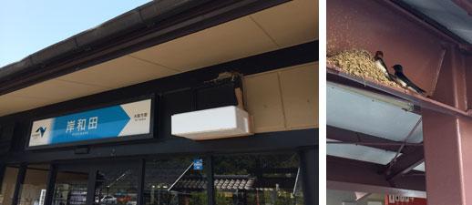 【画像3】近畿自動車道岸和田サービスエリアでは、店舗の軒下などにたくさんの巣がつくられていた。背伸びすれば手が届くような場所で卵を温める親鳥も(写真撮影:井村幸治)