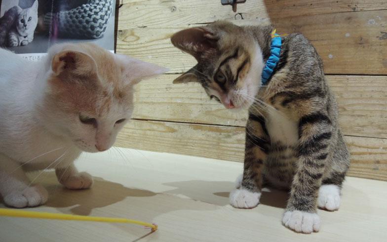 【画像9】おもちゃに興味津々の2匹。好奇心旺盛な子猫だ(写真撮影:アポロ計画)