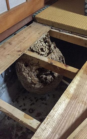 ハチは小さな隙間があれば、中に入って巣をつくることができるので、畳を外したら大きな巣が……なんてこともあるようだ(画像提供:株式会社蜂屋のサカイ)