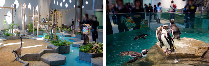 【画像3】「うごきにふれる」コーナーではワオキツネザルが頭上を飛び跳ね、アナホリフクロウが舞い飛んでいる! ケープペンギンの動作もかわいい(写真撮影:井村幸治)