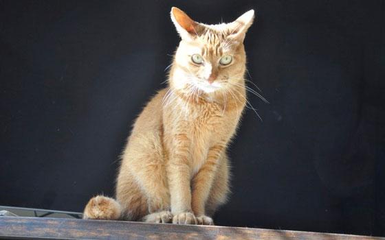 【画像1】捨て猫だった筆者宅の猫。拾った当時は猫飼育可の賃貸住宅住まいだったので、筆者の場合は、そのまま飼育した。もうすぐ高齢猫の仲間入り(写真撮影:嘉屋恭子)
