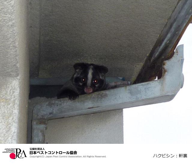 【画像4】軒裏に忍び込んだハクビシン(出典:日本ペストコントロール協会)