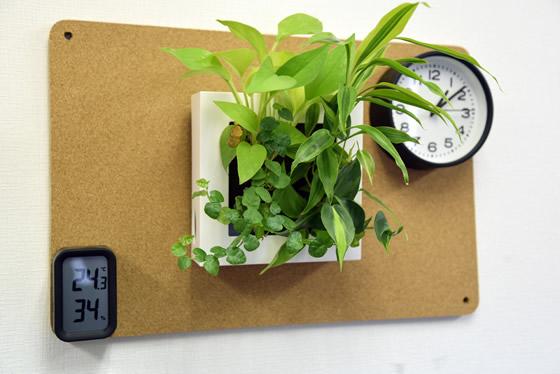 【画像2】コルクボードにフックを刺せば、観葉植物や時計が掛けられます(撮影:榎並紀行)