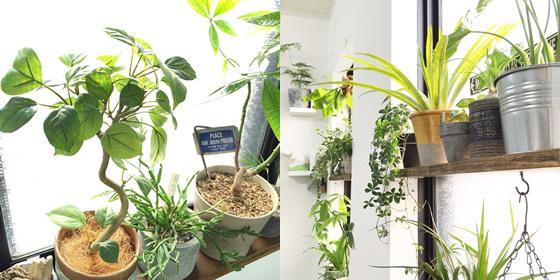 【画像5】左写真のなかでは一番左端にあるベンジャミン、右写真は中央のドラセナ(ゴールドとグレーのバイカラーの鉢)がフェイクグリーンで、ほかはリアルグリーン(画像提供:kiki_neko)