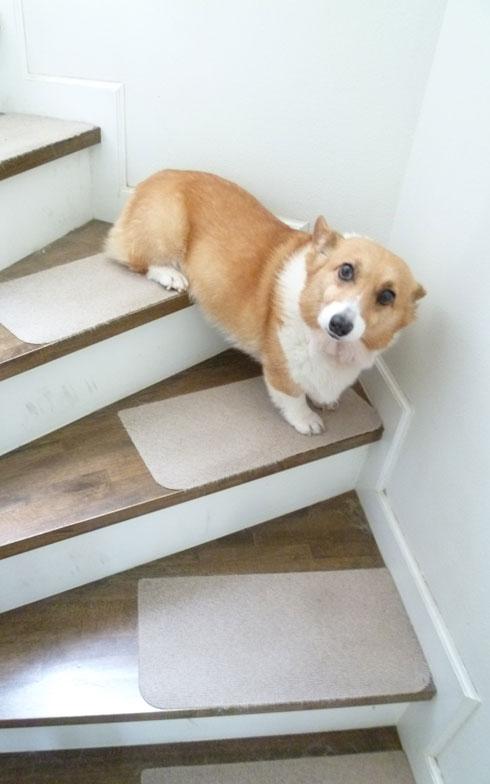 【画像6】愛犬エリザベス(推定10歳)は虐待から保護したコーギー。短足なので階段は苦手… この一部シートだと格好悪いし掃除もしにくい(写真撮影:藤井繁子)