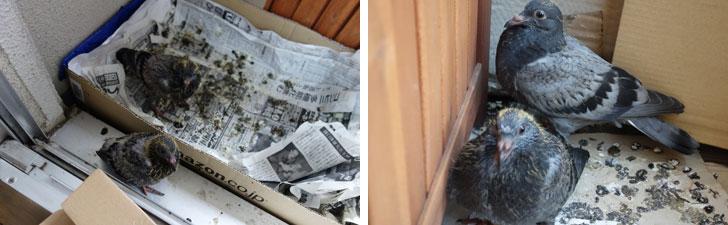 【画像4】糞の量が増えるため、毎日新聞紙を交換していました。右写真はベランダのほかの場所でくつろぐ雛(写真撮影:金井直子)