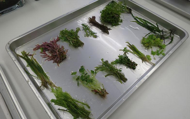 【画像7】ワークショップでは季節によって異なる水草を常時10種類以上用意(写真撮影/末吉陽子)