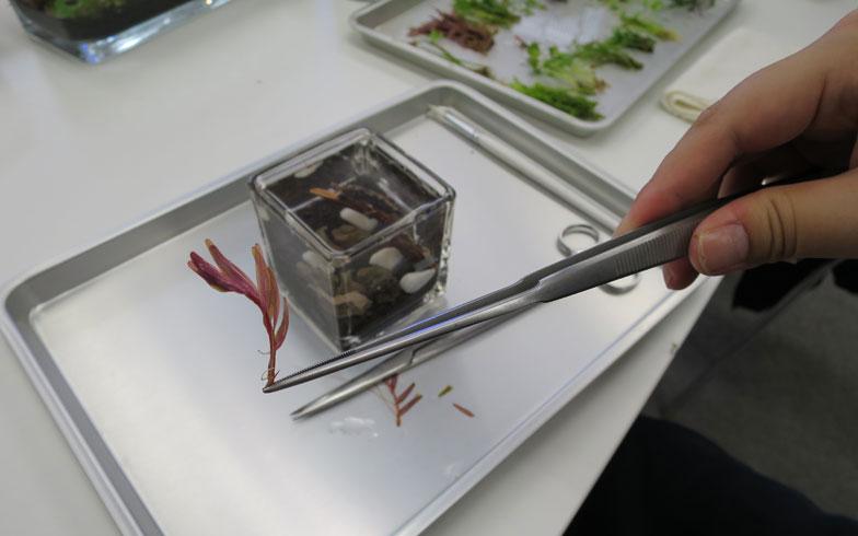 【画像8】土に植える部分は葉をカットし、下部の先端をピンセットで持つ(写真撮影/末吉陽子)