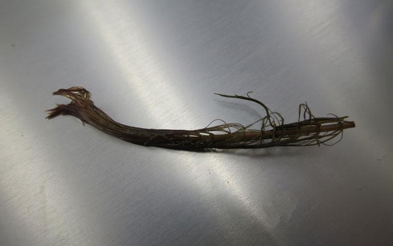 【画像10】植え込む前は葉が閉じてしまっているこんな水草も……(写真撮影/末吉陽子)