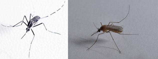 【画像1】住宅街に生息する蚊は主にこの2種類。左:「ヒトスジシマカ(ヤブカ)」。日中に活動するが、気温が30度を超えると、高温を嫌って日陰に入る習性があるため、文字通り、「藪」に潜んでいたりする。家の中には入ってこない。/右:「アカイエカ」は、夜から朝にかけて活動する。家の中に入ってきて人を刺すのは、こちらの種類だ(画像提供:アース製薬)