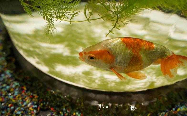 縁日の金魚を長生き&「鯉」クラスまでに大きくすることはできるのか?