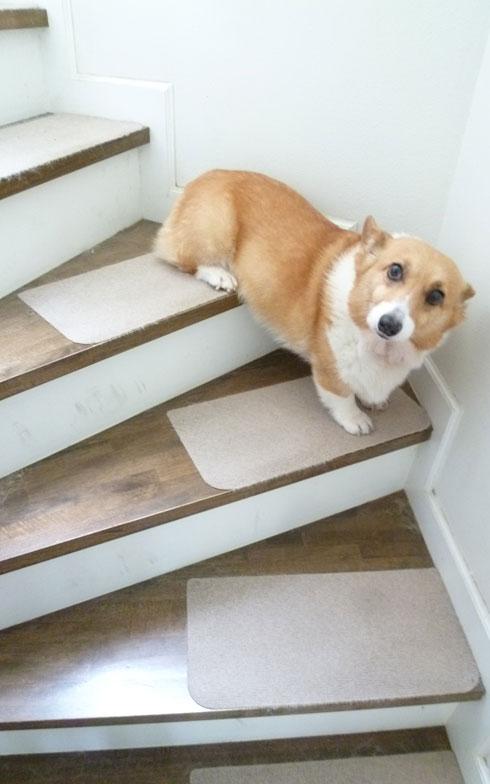 【画像2】わが家のコーギー犬。滑り止めシートを貼っているが、勢い余って転ぶように着地することも(写真撮影/藤井繁子)