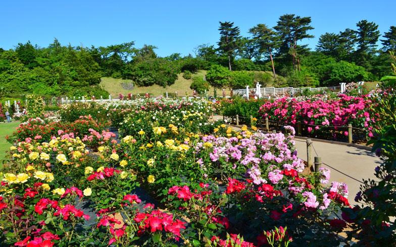 【画像1】生田緑地の春のばら苑の様子(写真/PIXTA)