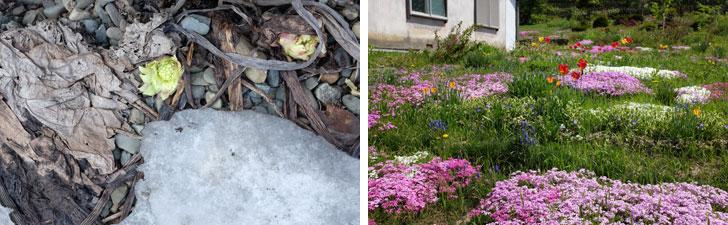 【画像7】左/雪のあいだから顔をのぞかせるフキノトウ。右/雪が溶けるといっせいに花が咲く。スイセンやチューリップに続いて、ピンク色の芝桜がそこかしこに(写真撮影/來嶋路子)