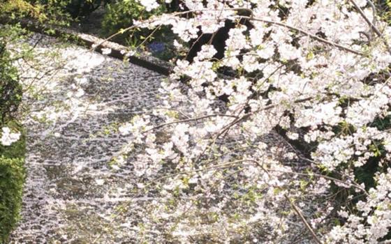 【画像1】毎年春になると、石畳の上に美しい桜の花びらの絨毯が現れる(写真提供/寺島はなえさん)