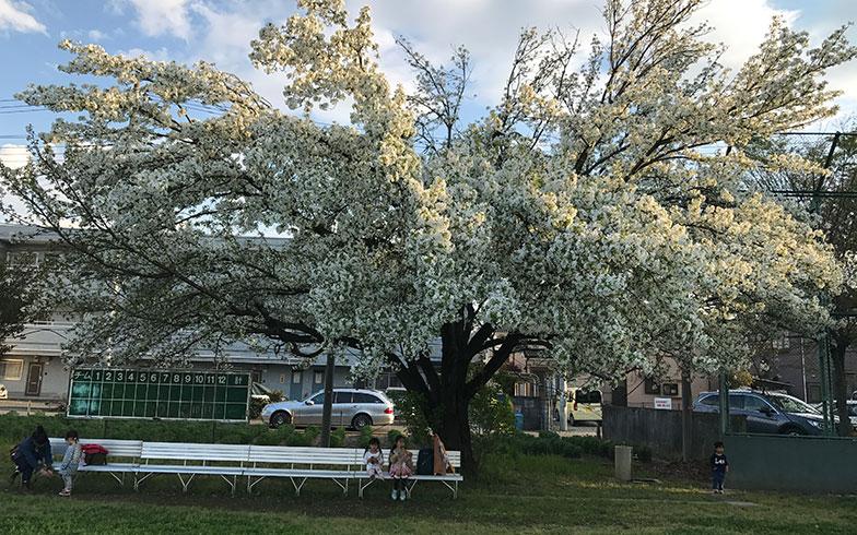 【画像2】グラウンドにも桜が咲き乱れる(写真撮影/富谷瑠美)