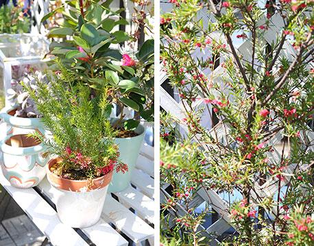 【画像3】花に見えるユニークな形状の鮮やかな葉がひと際目を惹く「グレビレア」。こちらの植物は、オージープランツの代表格で細かく分けると約300種類くらいあるそう(写真撮影/飯田照明)