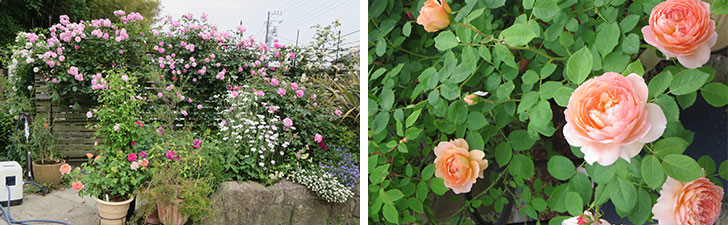 【画像5】 種類の違うバラが次々と咲き、2週間ほどで景色も変わるそう。ピンクのつるバラや、鉢植えのオレンジのバラも見事だった(写真撮影/藤井繁子)