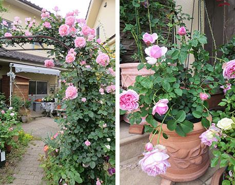【画像10】初心者でも始めやすいバラを聞くと「いわゆる、ピンクのバラらしいものは育てやすくなっていますよ。四季咲きだと長く楽しめますね」とのこと。茶色や紫色など珍しい色は、育てるのが難しい品種らしい(写真撮影/藤井繁子)