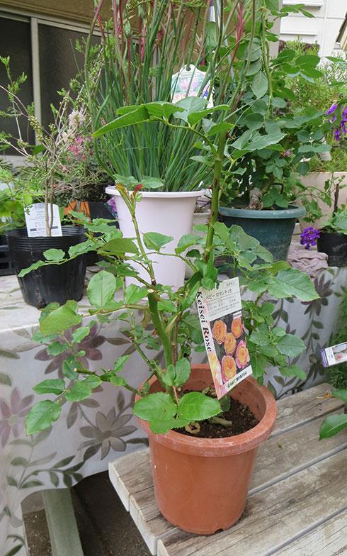 【画像11】このくらいの苗からスタート。金子邸にはこれから庭に植える待機中の苗もたくさん!(写真撮影/藤井繁子)