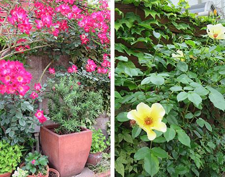 【画像16】伺ったときは、赤や黄色のつるバラが咲いていた。1カ月前は、真っ白なバラで覆われていたようで、日々変化して訪れる人を楽しませる(写真撮影/藤井繁子)
