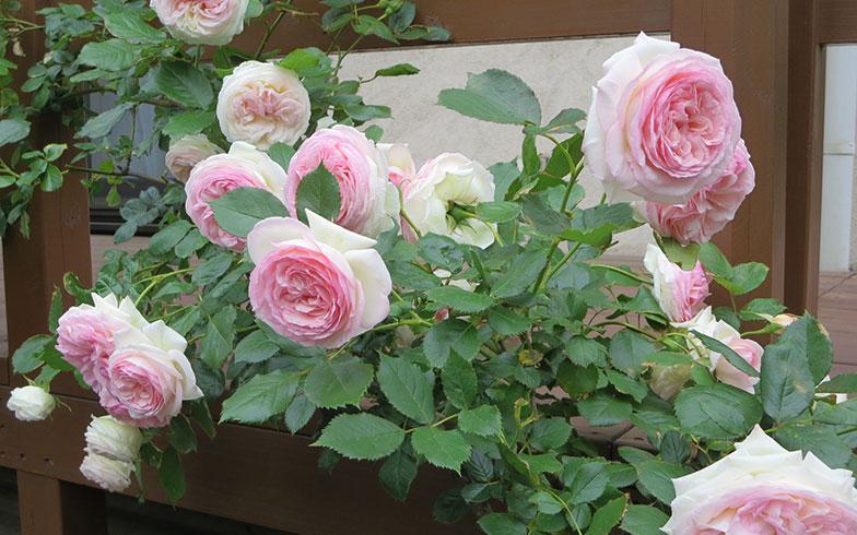 【画像17】奥の庭でちょうど見どころだった、ピンク色の八重咲きバラも案内してくださった(写真撮影/藤井繁子)
