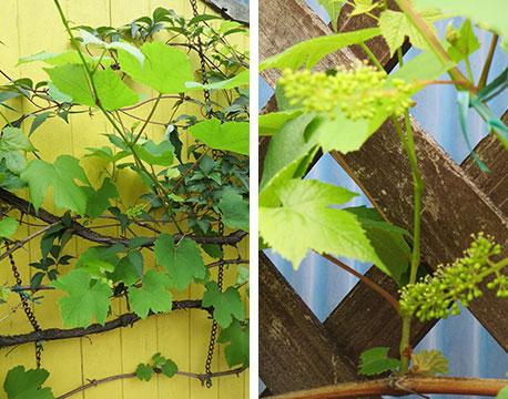 【画像18】フェンスにはわせたブドウの木。「お子さんに『これが実になるのよ』と教えると、驚いて眺めてくれます」(写真撮影/藤井繁子)