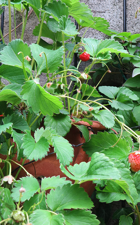 【画像19】もう終わりかけだったが、イチゴがなっていた(写真撮影/藤井繁子)