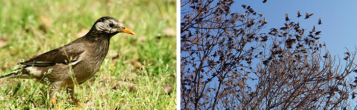 【画像1】ムクドリは全長24cmほどで雀と鳩の間くらいの大きさ。日本のほぼ全域に生息する留鳥(通年いる鳥)です。天敵から身を守るために群れで生活をしており1万羽以上になることも。鳴き声はギャーギャー、ギュルギュルなど。集団になると大騒音が(写真/PIXTA)