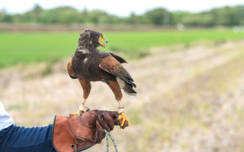 【画像6】鷹の威嚇によってムクドリは命の危機を感じ、その場所に戻らなくなるそうです(写真/PIXTA)