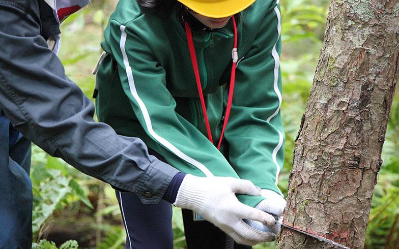 【画像2】松の一種、キタゴヨウの間伐体験。ほかの木との間隔が狭く、元気のない木を切る(写真撮影/田方みき)