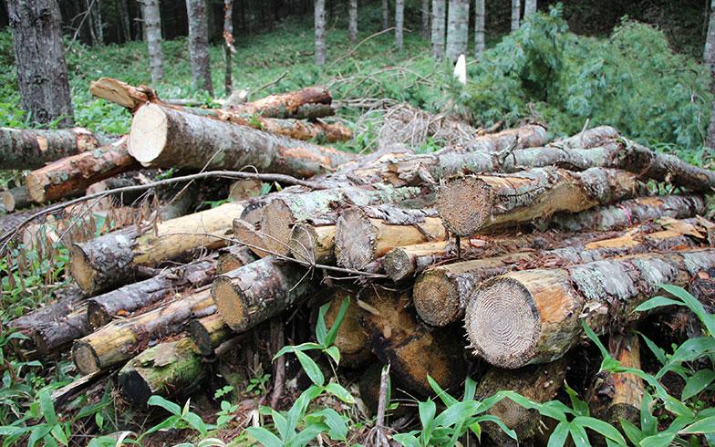 【画像4】間伐された木。材木工場やバイオマス発電所などで利用されなければ廃棄物になってしまう(写真撮影/田方みき)