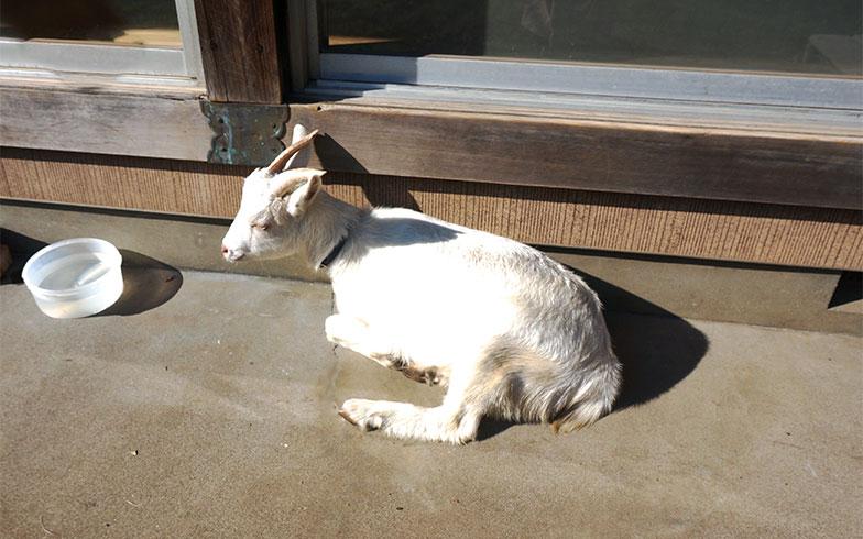【画像10】なんと実家ではヤギも飼っている。雑草を食べてくれるヤギのイチロウは大人しい性格(写真撮影/蜂谷智子)