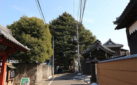 寺町らしい一画。正面に見えるのは谷中のシンボル、樹齢90年を超えるヒマラヤスギ。なんと、植木鉢から育てられ、ここまでの巨木になったという(写真撮影/SUUMOジャーナル編集部)