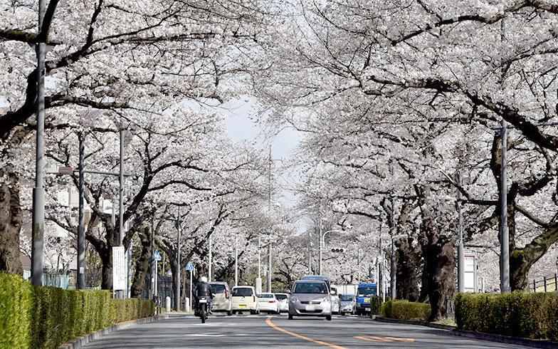 国道114号線の桜並木(写真撮影/坪沼大輔)