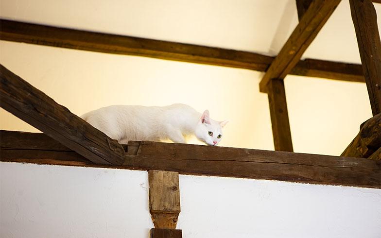梁からこちらを見下ろすしろちゃん(写真撮影/片山貴博)