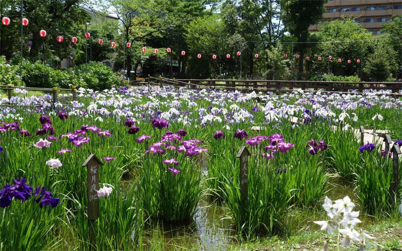東京都足立区 初夏のしょうぶ沼公園(写真/PIXTA)