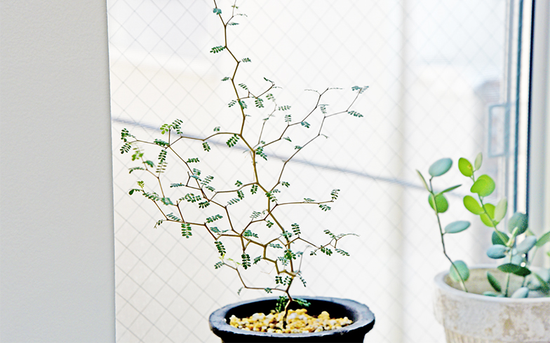 """葉の形状がユーモラスなこちらは、「ソフォラ・ミクロフィラ(リトルベイビー)」、通称""""メルヘンの木""""。カクカクした繊細な枝がおしゃれ(撮影/小野洋平)"""